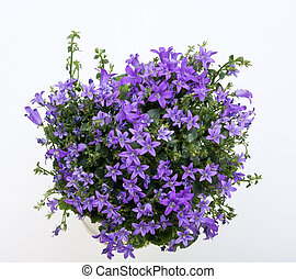 Dalmatian bellflower - Beautiful vivid purple spring flower...
