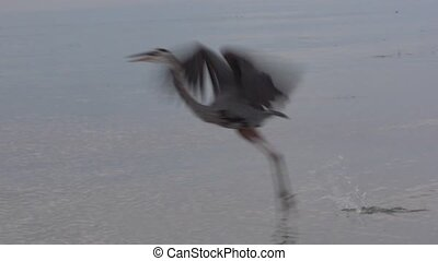 Short flight of a Great Blue Heron - Great Blue heron short...