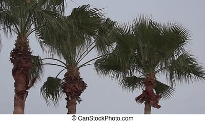 Palm Trees slow tilt down