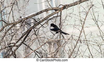 Magpie sitting on a tree stump