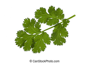 cilantro - fresh cilantro leaf macro isolated on white...