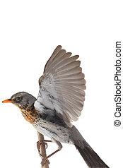 portrait thrush - thrush in flight (Turdus pilaris),...