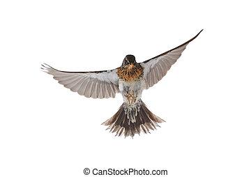 portrait thrush - thrush in flight Turdus pilaris, isolated...