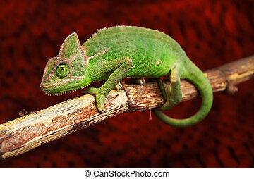 verde, camaleão