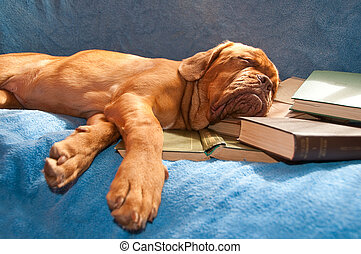 dogue de bordeaux asleep - dogue de bordeaux sleeping in a...