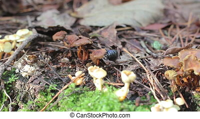earth-boring eating mushroom (Geotrupidae) on the forest...