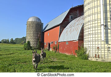 Donkeys walking away from red barn - A pair of donkeys in a...