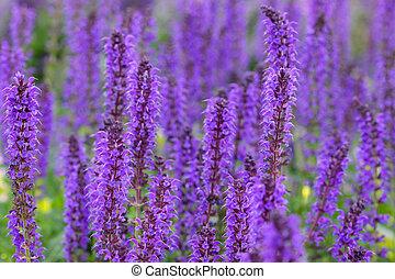 Tall purple flowers - Many tall purple flowers in the garden