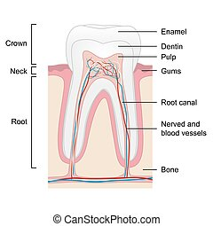 Human tooth anatomy isolated on white background, vector