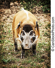 Red river hog (Potamochoerus porcus), animal scene - Red...