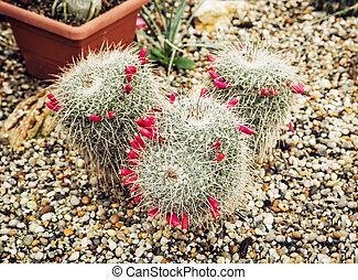 Big Echinocactus flowering plant in a greenhouse - Big...