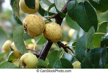 Yellow Wild Pears - Wild Pears Pyrus Pyraster with drops of...
