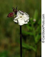 Bladder campion Silene vulgaris flower - Bladder campion...
