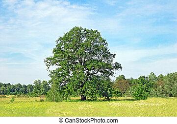 Spring oak tree in green meadow and blue sky