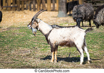 The goat male - The white goat in heritage park in...