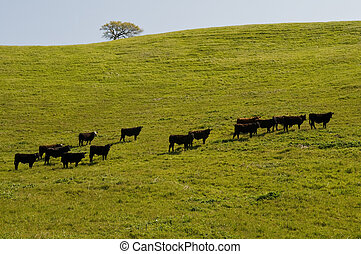 Cows on a hill, Lake Del Valle Regional Park, Livermore,...