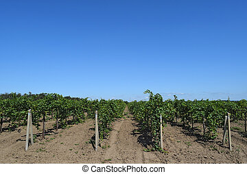 The grape gardens Cultivation of wine grapes at the Sea of...