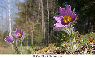 Flowering Pasque flower plant in springtime sun closeup...