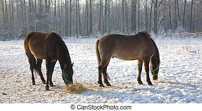Two Tarpan like Polish Horses walking in winter