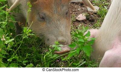 close up of pig grazing grass in farm