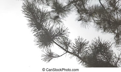 Close up of pine fir tree branches with grey sky on...