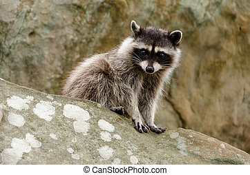 Rocky Raccoon - A curious raccoon sits on top of a rock.