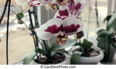 Orchid flowers on a window sill - panoramic shot of orchid...