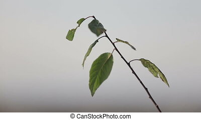 Fresh leaves swaying in the wind on grey sky background.