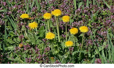 Dandelions at meadow, zoom in video - Dandelions with bee at...