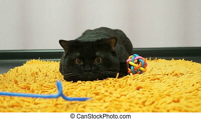British black cat is playing with a toy