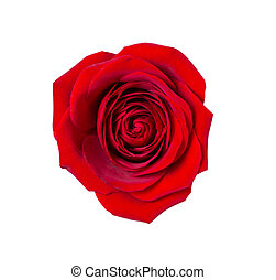 Dark red rose on isolated background