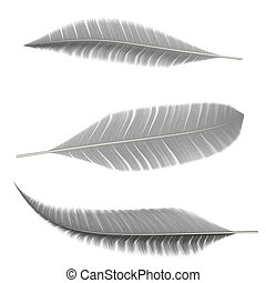 Collection of gray feathers of birds on an isolated white...