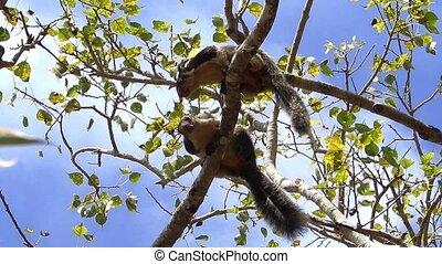 Kissing squirrels in Sri Lanka