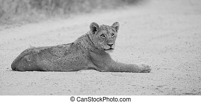 Young lion lay on dirt read artistic conversion - Young lion...