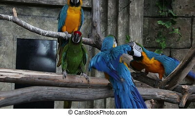 Macaw fighting for his female. Part 1