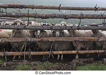 Sheeps behind fence 4 - Sheeps in the meadow in the mist on...