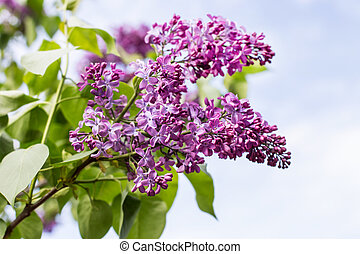 branch with spring lilac flowers closeup