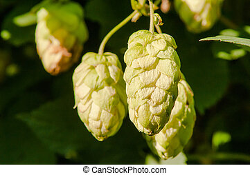 growing hops - wild, growing hops summer day in the sun