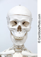 Human skeleton - Medical visual aid - model of human...