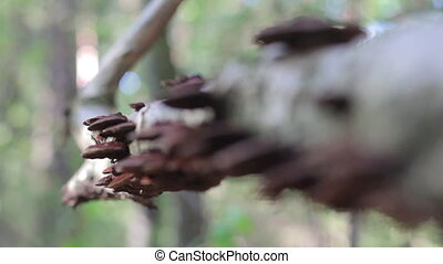 mushrooms on trunk in forestDaedaleopsis confragosa -...