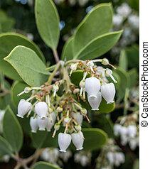 Bigberry Manzanita Flowers - Bigberry Manzanita...