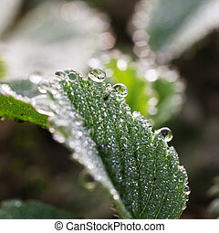 Dewdrops - dew drops on green leaves, summer time