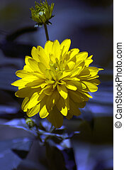 Rhapsody in blue - Yellow flower with blue background