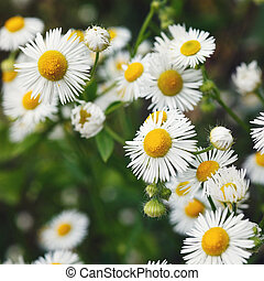 meadow with blooming daisy flowers