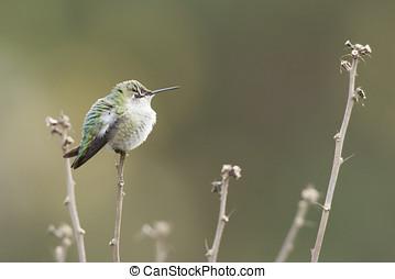Annas Hummingbird perched on branch