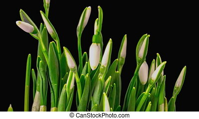 Soft White Snowdrops Blossom. Black Background. Timelapse....