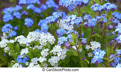 Blue and White Forget Me Not - Close up Shoot of Blue and...