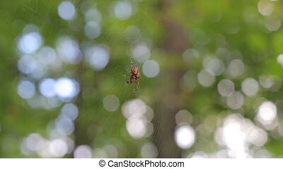 Cross Spider in web (Araneus diadematus)
