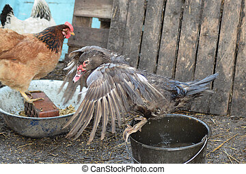 Musky duck bathes in a bucket of water The maintenance of...