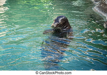 Hawaiian Monk Seal - Hawaiian monk seal relaxing in the...